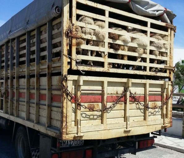 Livestock truck carrying sheep